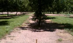 Image of pecan orchard with weeds