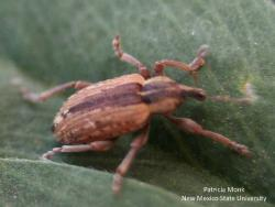 Image of an alfalfa weevil adult