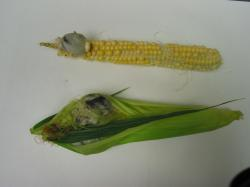 Image of common smut on corn