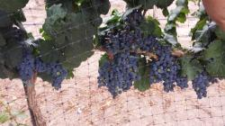 Image of grapes protected by extruded bird netting