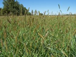 Image of foxtail in fescue