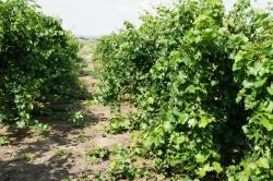 Image of grapevines ready for hedging