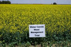 Image of the weed management in canola trial New Mexico