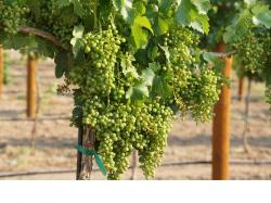 Image of grapevine with heavy crop load