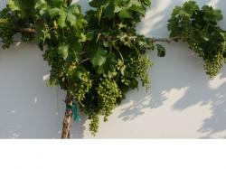 Image of grapevine with thinned fruit load