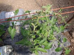 tomato plant infected with CMV