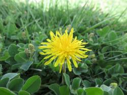 Image of dandelion in turf