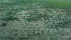 Image of a lawn with white grub damage