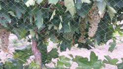Image of grapes with woven bird netting
